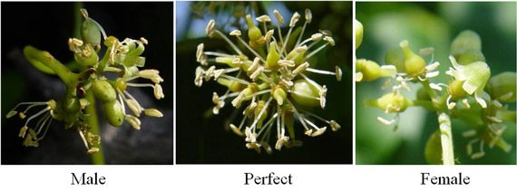 Side by side representation of male, perfect and female muscadine flower types.